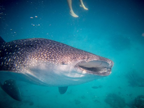 Whale Shark Diving in Oslob, Philippines