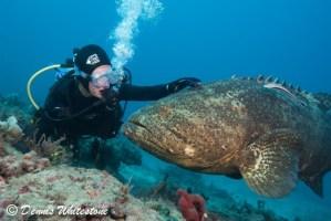 'Shadow' - Goliath Grouper