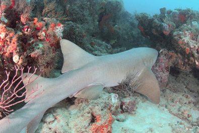 A large Nurse Shark taking a break