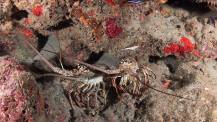 A pair of Spiney Lobster just wanting to be left alone