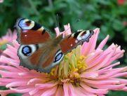 normal_papillon.jpg