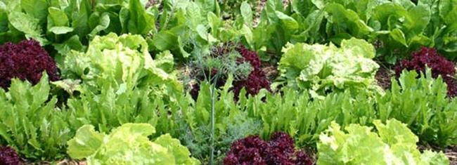 Alignement de salades