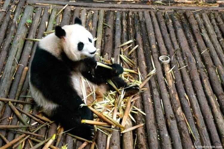 Chine, Chengdu, panda géant