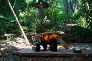 Chine, Chengdu, panda roux
