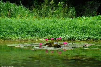 Vietnam, Tam Coc, nénuphar et lotus