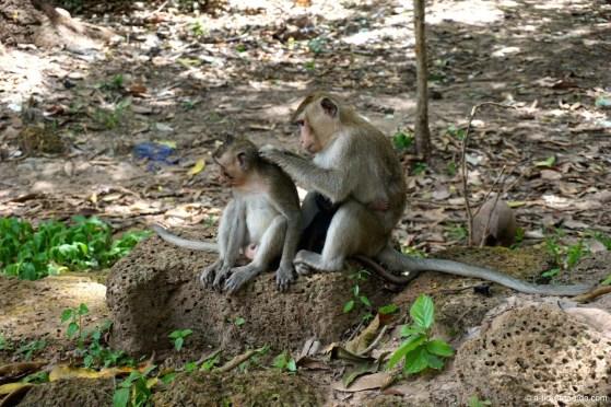 Cambodge, Angkor, singe