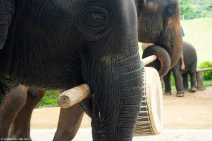 Thaïlande, région de Chiang Mai, éléphants