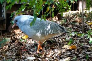 Nouvelle-Calédonie, Nouméa, zoo, cagou