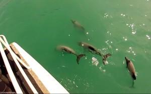 Nouvelle-Zélande, Akaroa, dauphins Hector