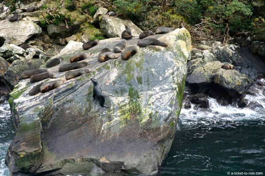 Nouvelle-Zélande, Milford Sound, phoques