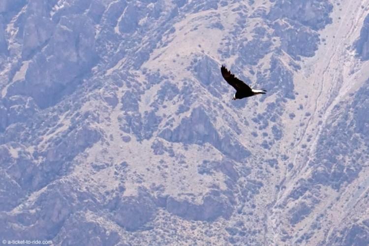 Pérou, canyon de colca, condor
