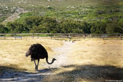 Afrique du Sud, Cape Town, élevage d'autruches