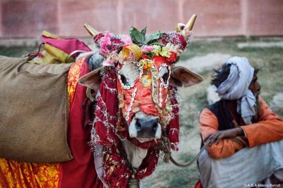 Inde-Khumbh Mela-vache