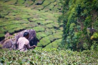 Inde, Munnar, plantations de thé