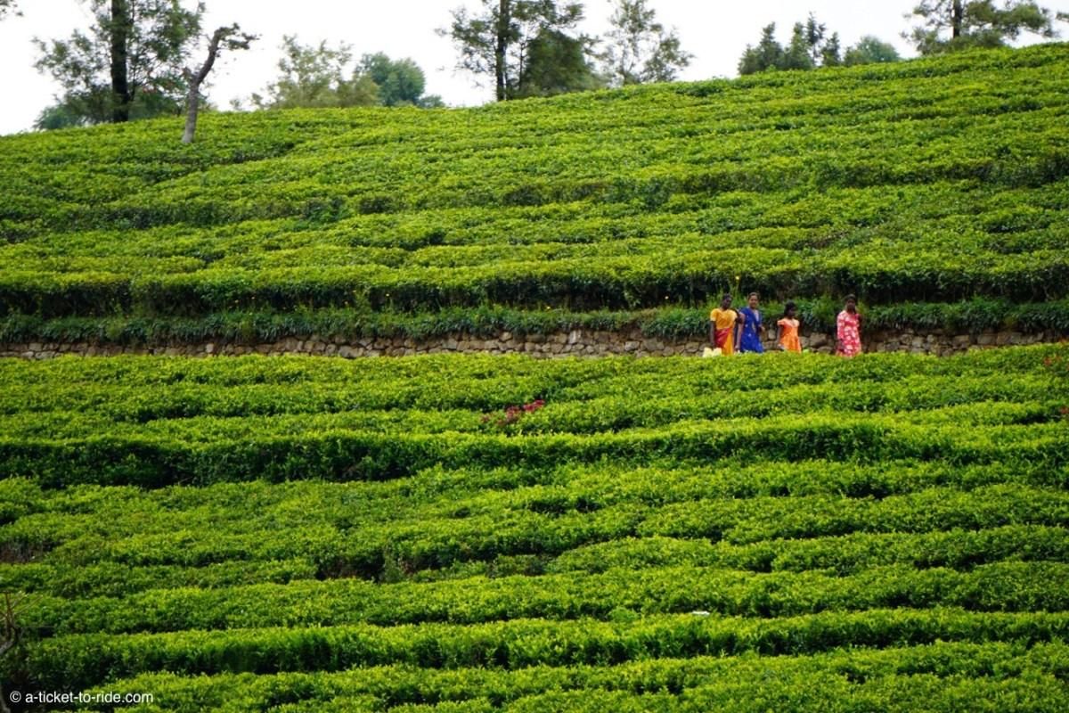 Sri Lanka, Haputale, ceuilleuses de thé Lipton seat