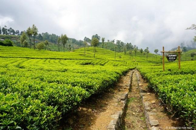 Sri Lanka, Haputale, Lipton seat, plantations de thé