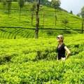 Sri Lanka, Haputale, plantations de thé