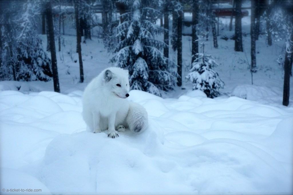 Laponie finlandaise, le zoo de Ranua
