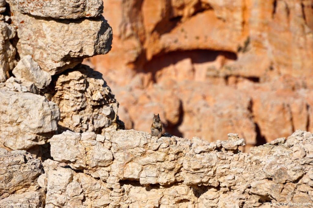 USA, Bryce Canyon, écureuil