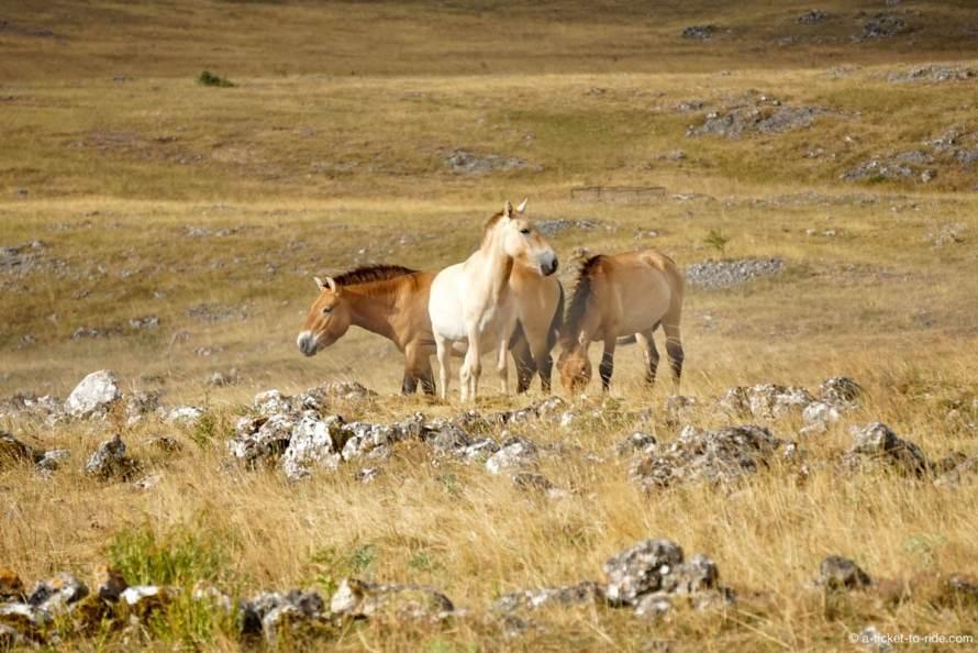 Causse Méjean, chevaux de Przewalski