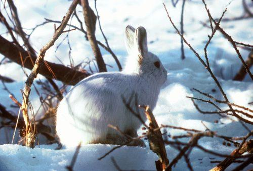 Kutup Tavşanı