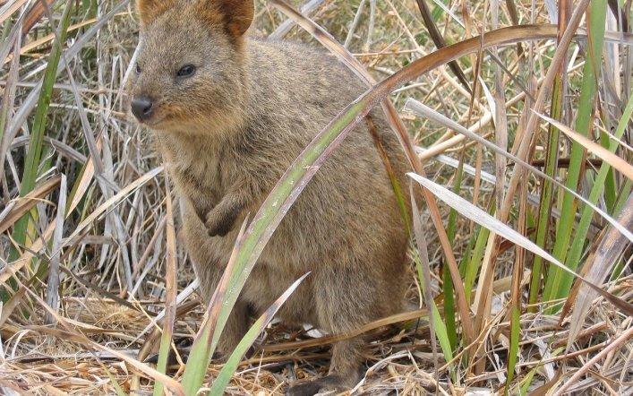 Kısakuyruklu Kanguru