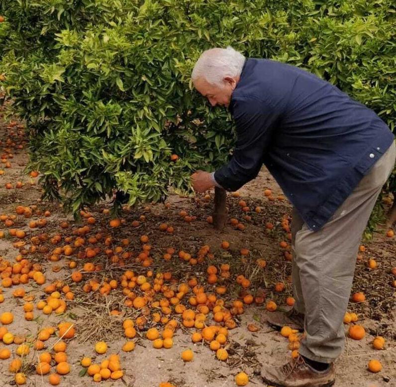 Paco Sorolla, de 72 años, frente a uno de sus naranjos en Burriana
