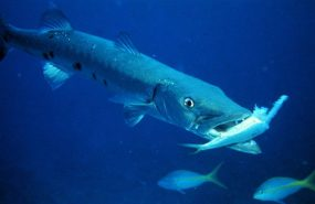 Las Barracudas a la hora de comerlas son venenosas o toxicas, hay que cocinadas con mucho cuidado sabiendo como hacerlo para no intoxicarse, pasa con ellas similar a lo que ocurre con el pez globo que en la forma de prepararlo y cocinarlo está la clave.