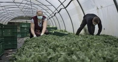 Dos trabajadores recolectan lechugas en A Coruña. ALBA CAMBEIRO