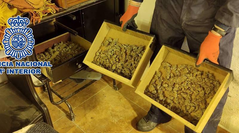 Detenido por tener más de 160 plantas de marihuana en el salón de su casa