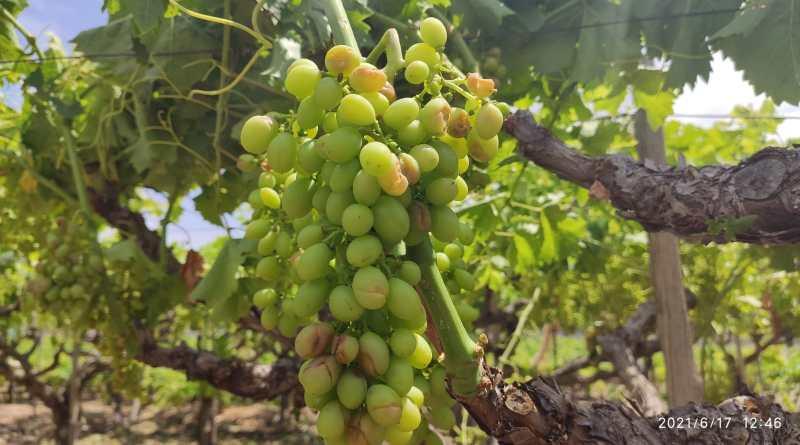 La granizada caída en el Medio Vinalopó afecta a 9 millones de kilos de la uva de mesa en La Romana, La Algueña y Hondón de las Nieves