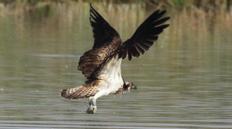 Observada una joven Águila Pescadora anillada en Gran Bretaña en El Hondo