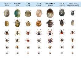 Tick Identification and Pictures