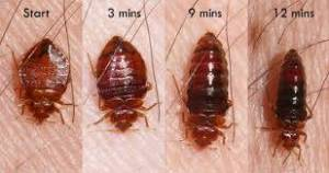 What bed bugs look like after feeding.