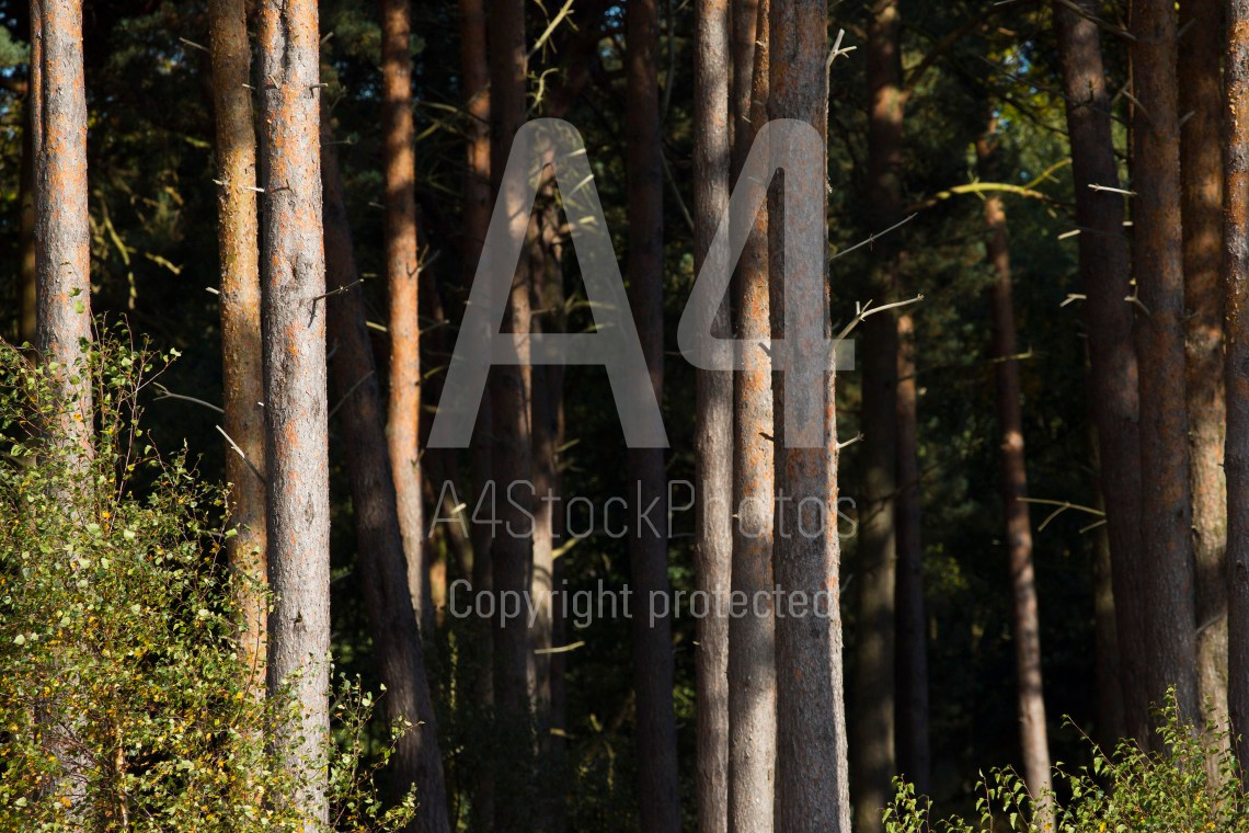 Landscape photography or industry photo? Compressed view of pine trees in a forest