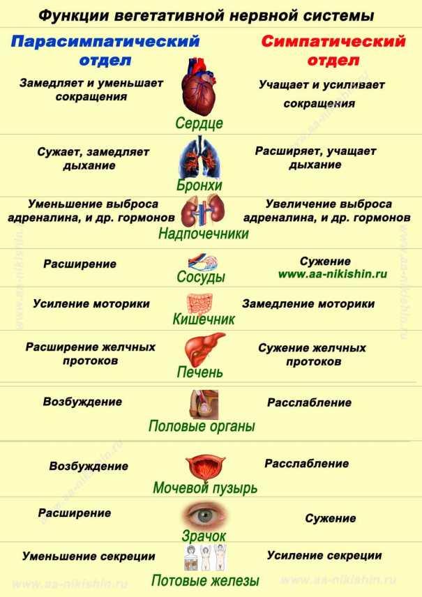 Схема функции Вегетативной нервной системы