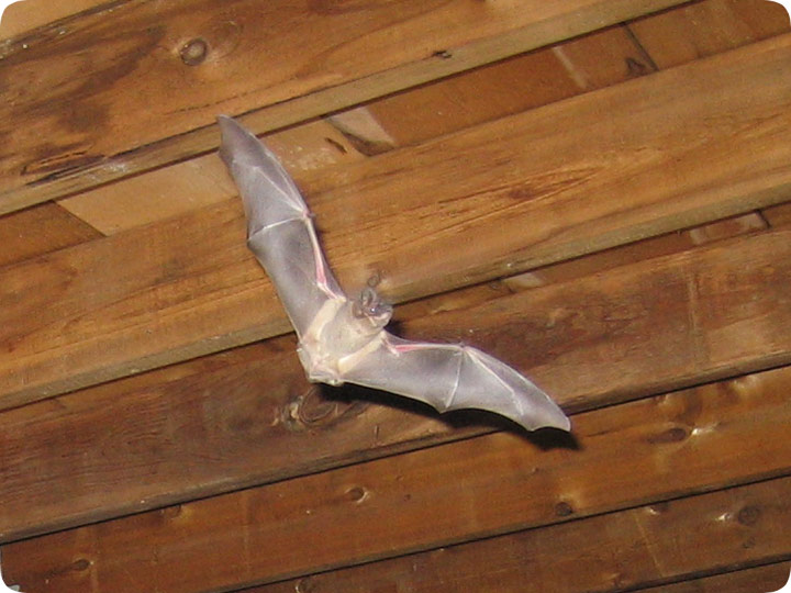 How Do I Get Bats Out Of My Attic