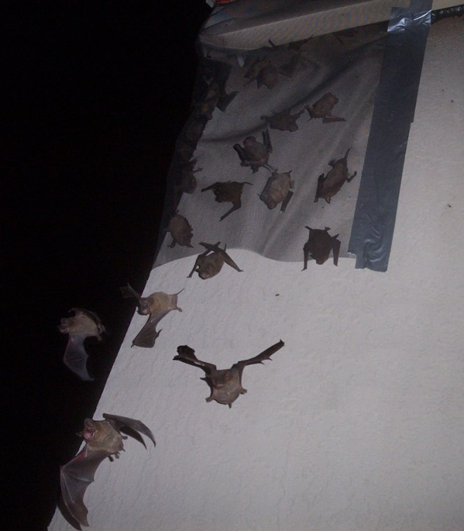 Here Is A Photo Of My Bat Exclusion Work High Up On Ladder At This Apartment Complex Note The Species Most Common In Florida Mexican Or