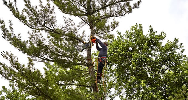 Avoid Tree Topping: Opt For Tree Trimming