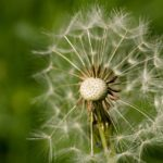 dandelion to represent mindfulness-based forgiveness