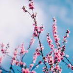 pink blossoms against a blue sky with white cloud