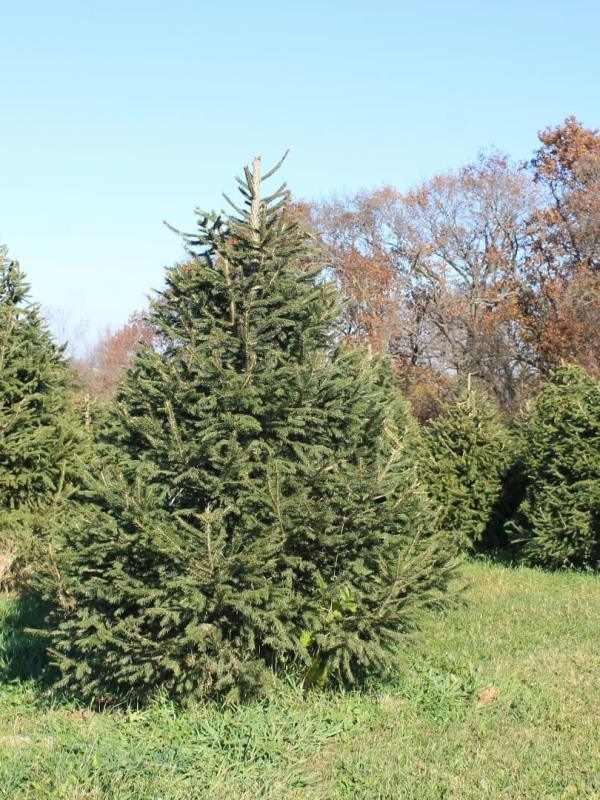 picture of a Norway Spruce tree