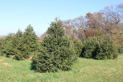 a picture of a row of Norway Spruce trees