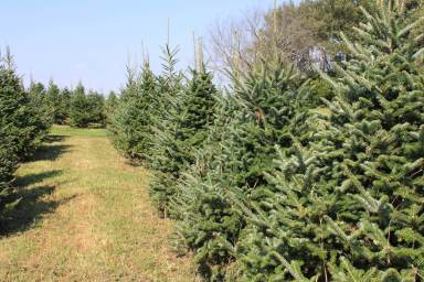 Christmas trees (or xmas trees) in field