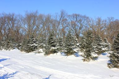 picture of a Christmas tree (or xmas tree) in winter