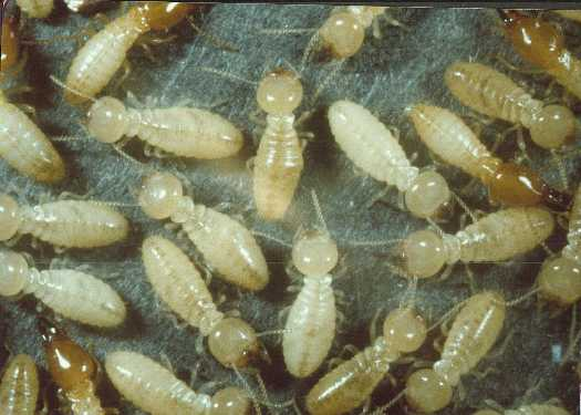 Nader Nazemi,Old Termites turn into exploding chemical weapons when threatened.
