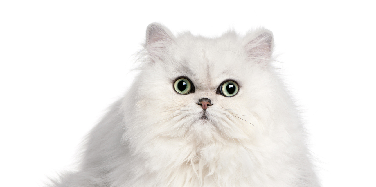 New Study Persian Cats At High Risk Of Health Issues