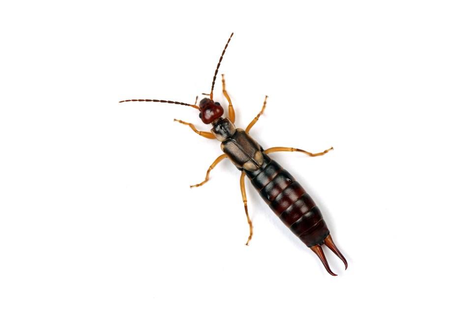 Earwig Bed Bug
