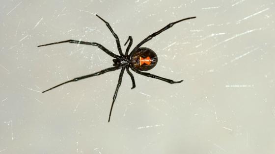 black widow spider bites-22505