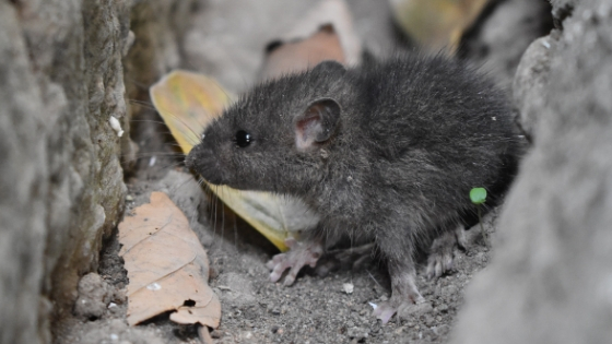 Tips for Rat and Mice Prevention - AAI Pest Control